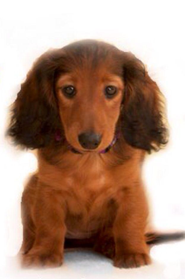 Long Haired Dachshund Baby Wiener Dog Baby Dachshund