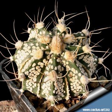 Astrophytum híbrido CAP-SK (A. capricorne x A. asterias cv Superkabuto.)