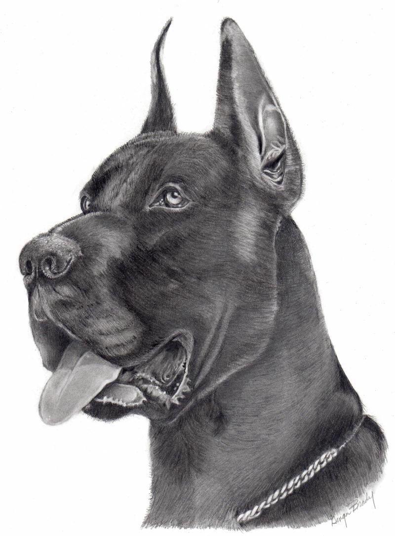 Great Dane Art Great Dane Dogs Dog Art Drawings