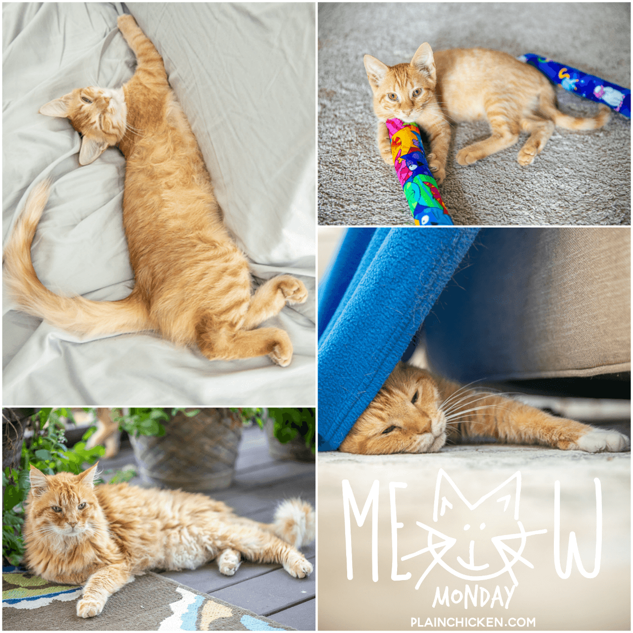 Meow Monday Pictures Of Cute Cats To Start The Week Come See What Jack Felix Mack And Mango Have Been Up To C Cute Cats Cat Pictures Videos Kitten Love