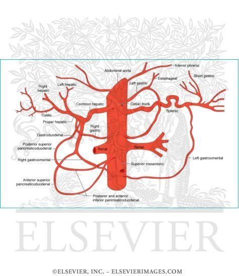 Celiac Trunk Arterial Supply Pediatric Surgery Celiac Artery