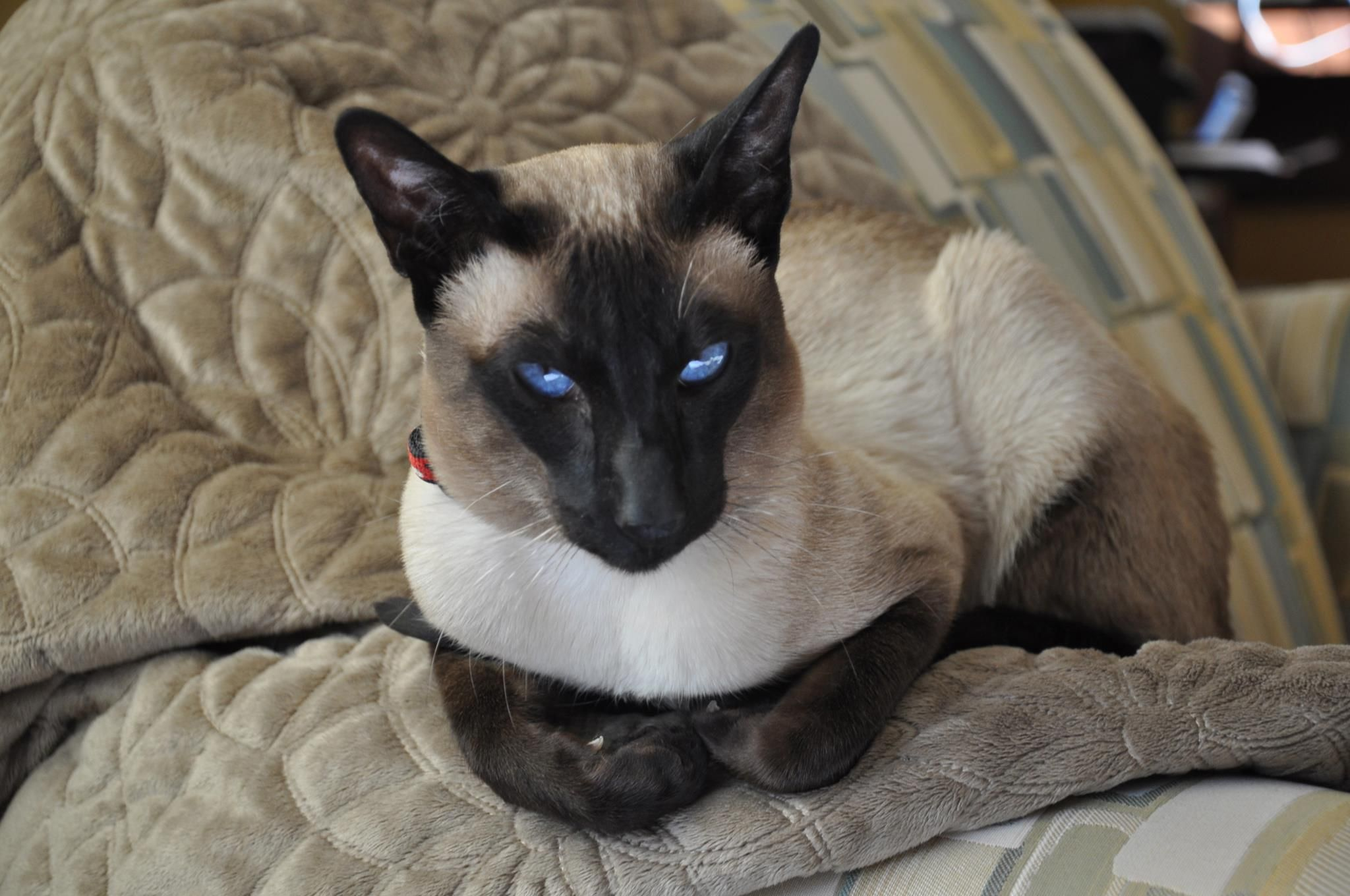 Pin By Spencee Stimac On Siamese If You Please Crazy Cats Cattery Siamese Kittens