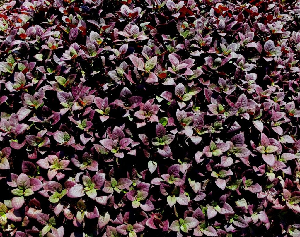 New Texas Superstar plant! Little Ruby alternanthera is a ground cover that has a long planting season and rich burgundy and green foliage.  Via Texas A&M AgriLife. #garden #gardening #ag