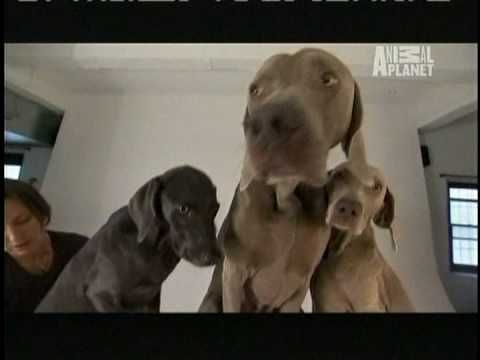 Dogs101 Weimaraners Runners Very Intelligent Dog With The Human