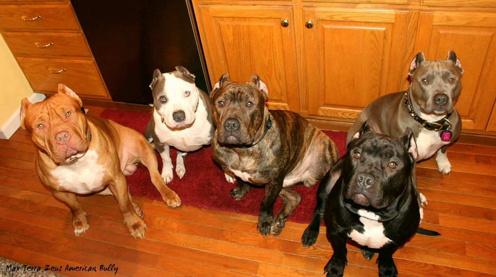 The Gang Zeus Pitbulls Hercules