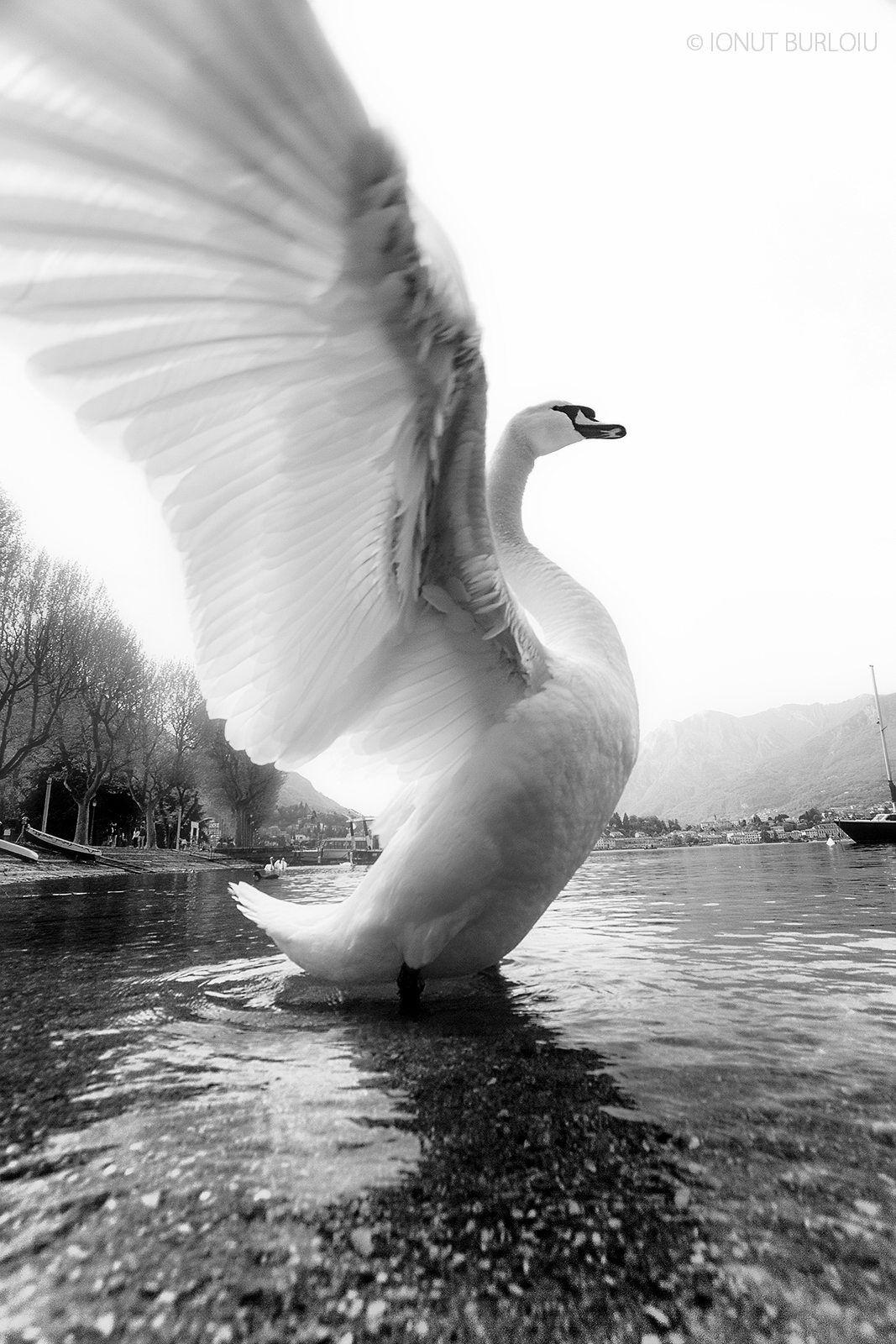 Black & White …   Swans   Birds, Swan, Swan wings