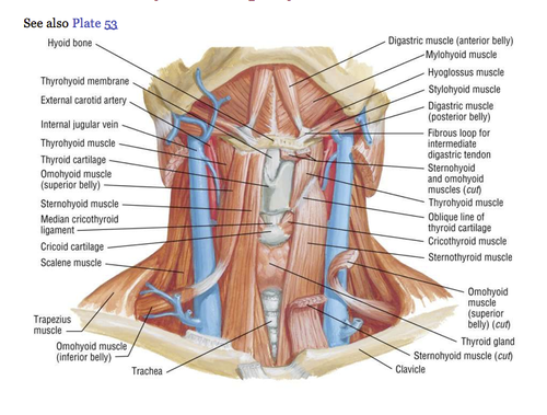Test Gross Lecture 22 T3 Quizlet Lecture Carotid Artery Anatomy