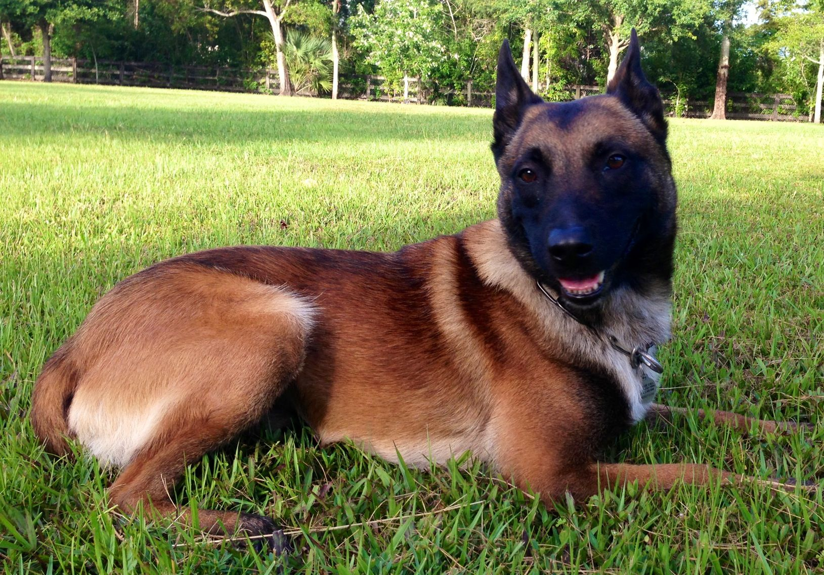 Robbie Knpv Ph1 Royal Dutch Police Certified Police Dog Social Dog With Outstanding Drives The Ferrari Of Dogs Ver Family Protection Dogs Dogs Dogs For Sale