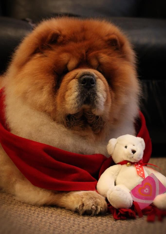 Red Chow Chow Chow Dog Puppy Chow Chow Dogs Boo The Dog