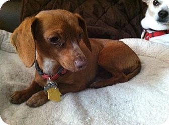 Mount Airy Nc Dachshund Meet Tinsel A Dog For Adoption Dog