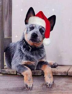 Christmas Blue Heeler