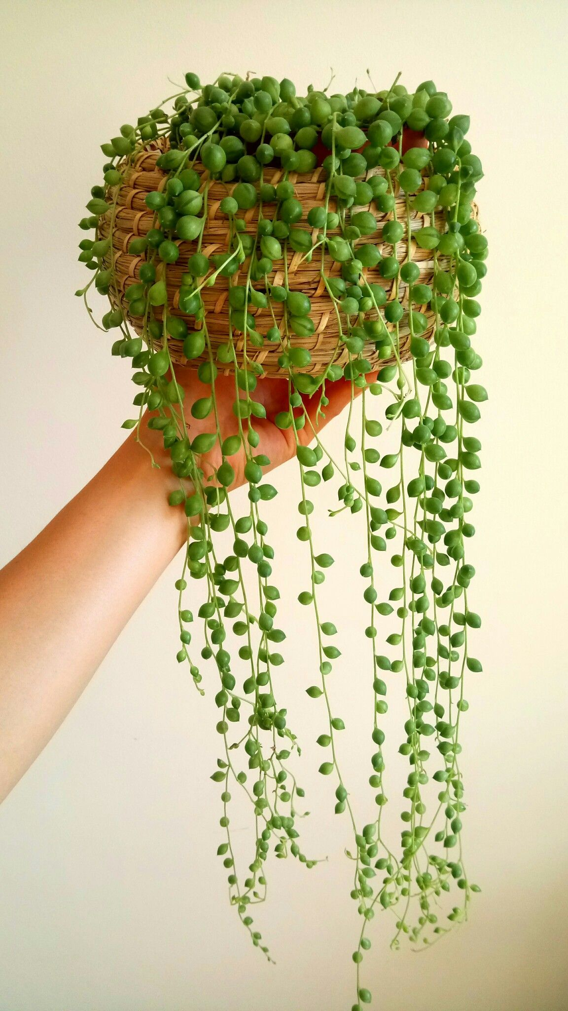 string of pearls succulent - HD1152×2048