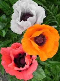 colourful poppies - Google Search