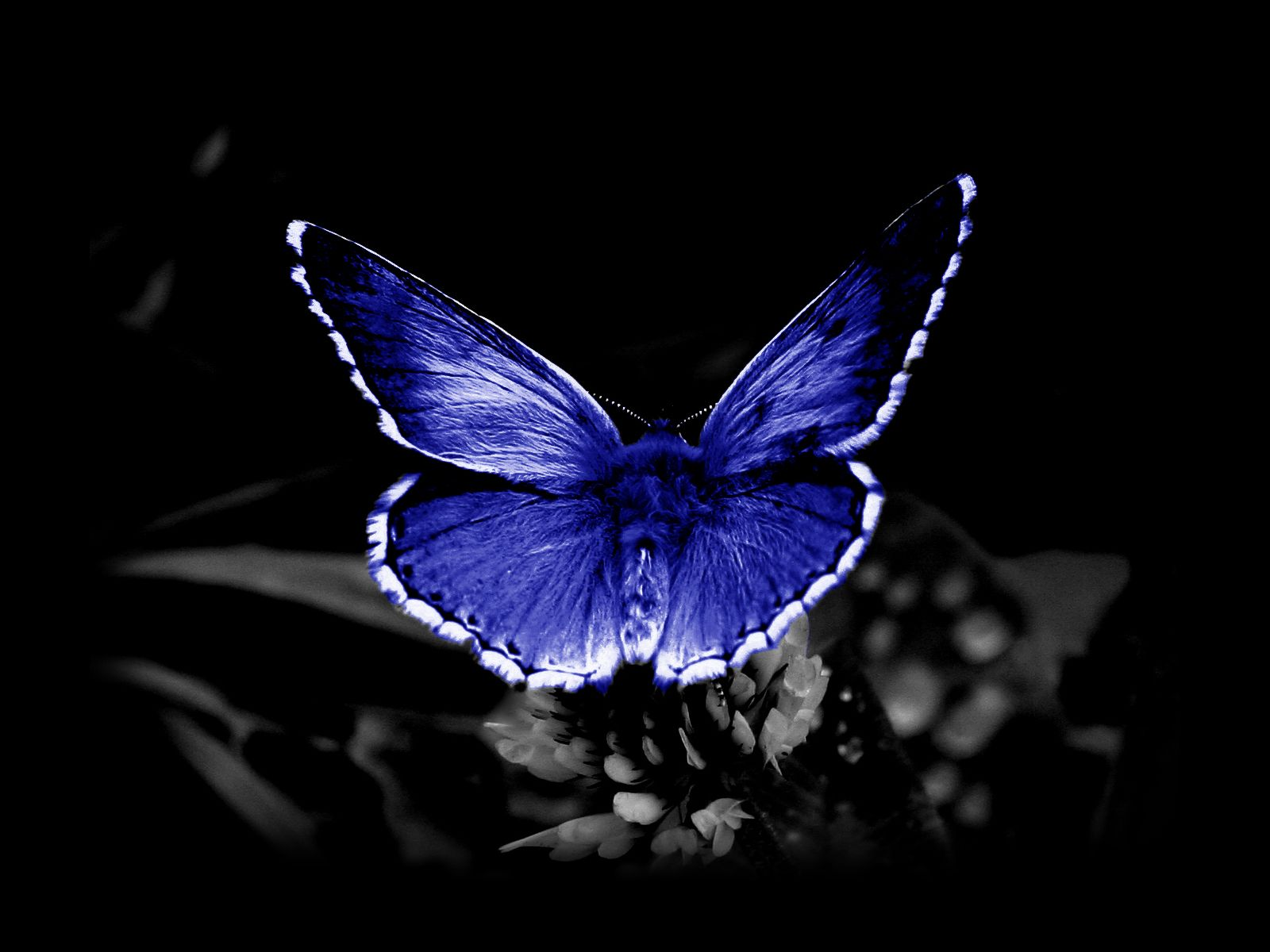 Endangered blue butterfly on black background butterfly on a flower butterflies wallpaper primary category animals