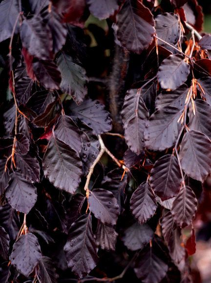 Kigi Nursery Us Sylvatica Black Swan Deep Purple Weeping Beech Tree 20 00
