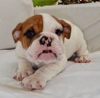 Kandy Is A Piebald Female English Bulldog Puppy With Champion