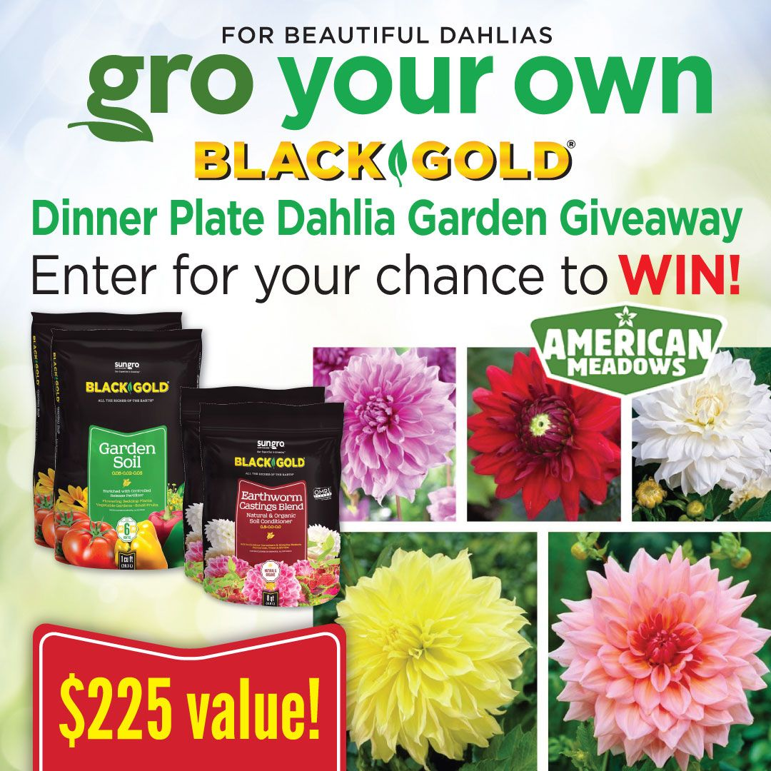 Dahlia Garden Giveaway From Black Gold American Meadows Thanks To Everyone Who Entered Our Dahlia Garden Giveaway Our Winner Is Susan Of Pittsburgh Pa Kee American Meadows Dahlias Garden Garden Soil