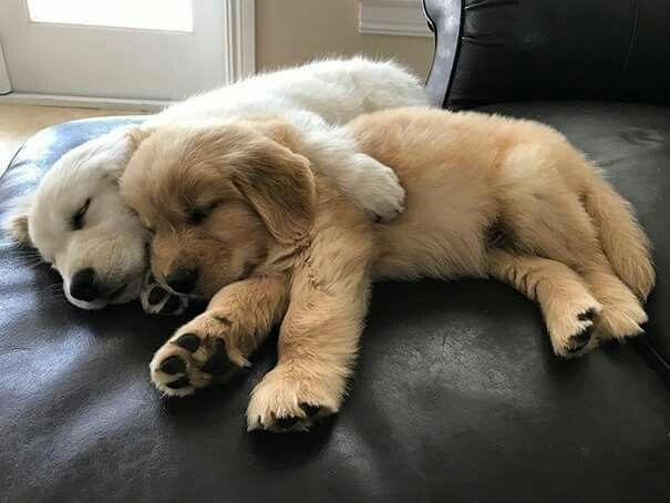 Puppies Golden Ratriever Cuddle Love Puppies Retriever