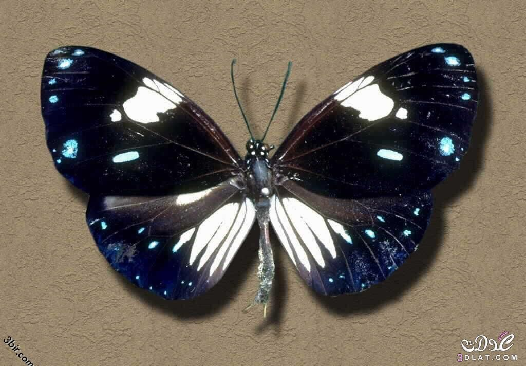 اجمل فراشات طبيعيه اروع واجمل الفراشات 3dlat Net 17 16 2964 Insects Bee Moth