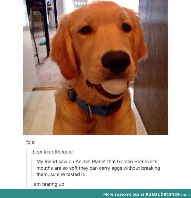 It S True With Labradors Also Cute Funny Animals Cute Animals