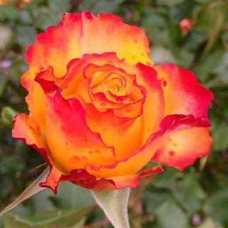 Tequila Sunrise rose