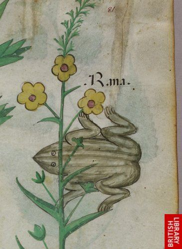Detail of a miniature of a frog.   Origin:Italy, N. (Lombardy)
