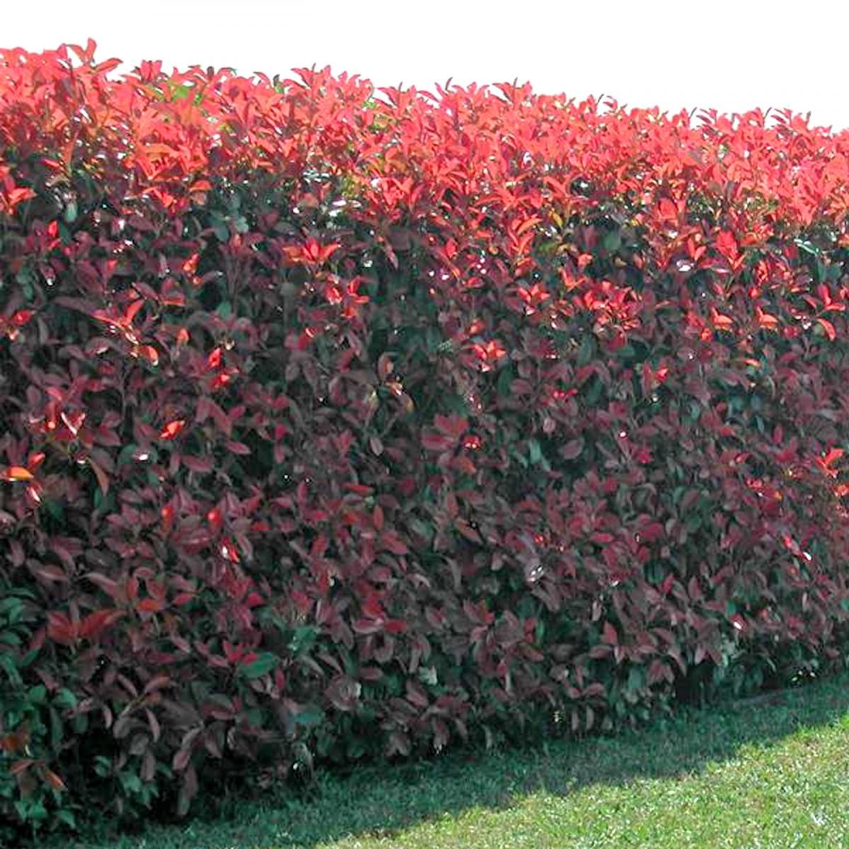 photinia x fraseri 39 red robin 39 hedging 10587 photinia a large v landscape soft evergreen. Black Bedroom Furniture Sets. Home Design Ideas