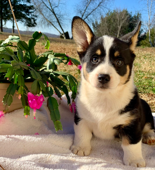 Puppies For Sale In 2020 Welsh Corgi Puppies Puppies Lancaster Puppies
