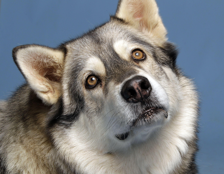 Keeko is a 10 yearold Alaskan Malamute who lost