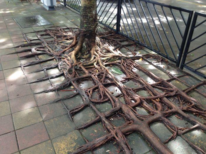 Wurzeln die um Pflastersteine wachsen