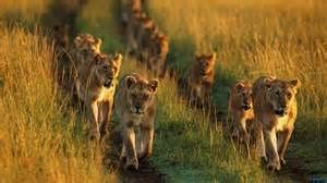 Celebrate Lions : A traveling lion family.