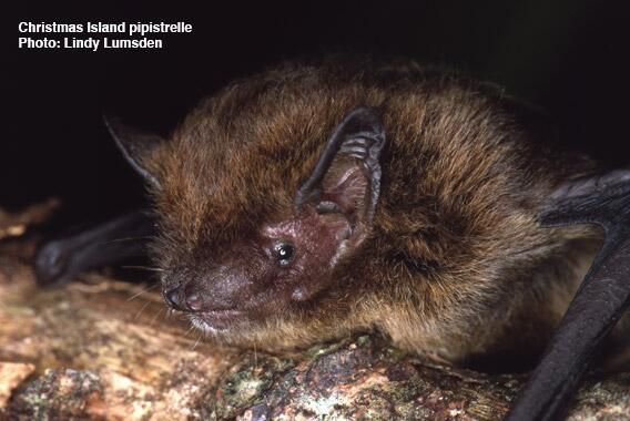 Extinction is real. The last echolocation call of the Christmas Island pipistrelle was recorded ...