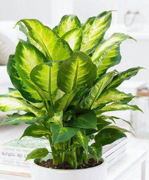 How to propagate a dieffenbachia plant using cuttings for Planta ornamental venenosa dieffenbachia