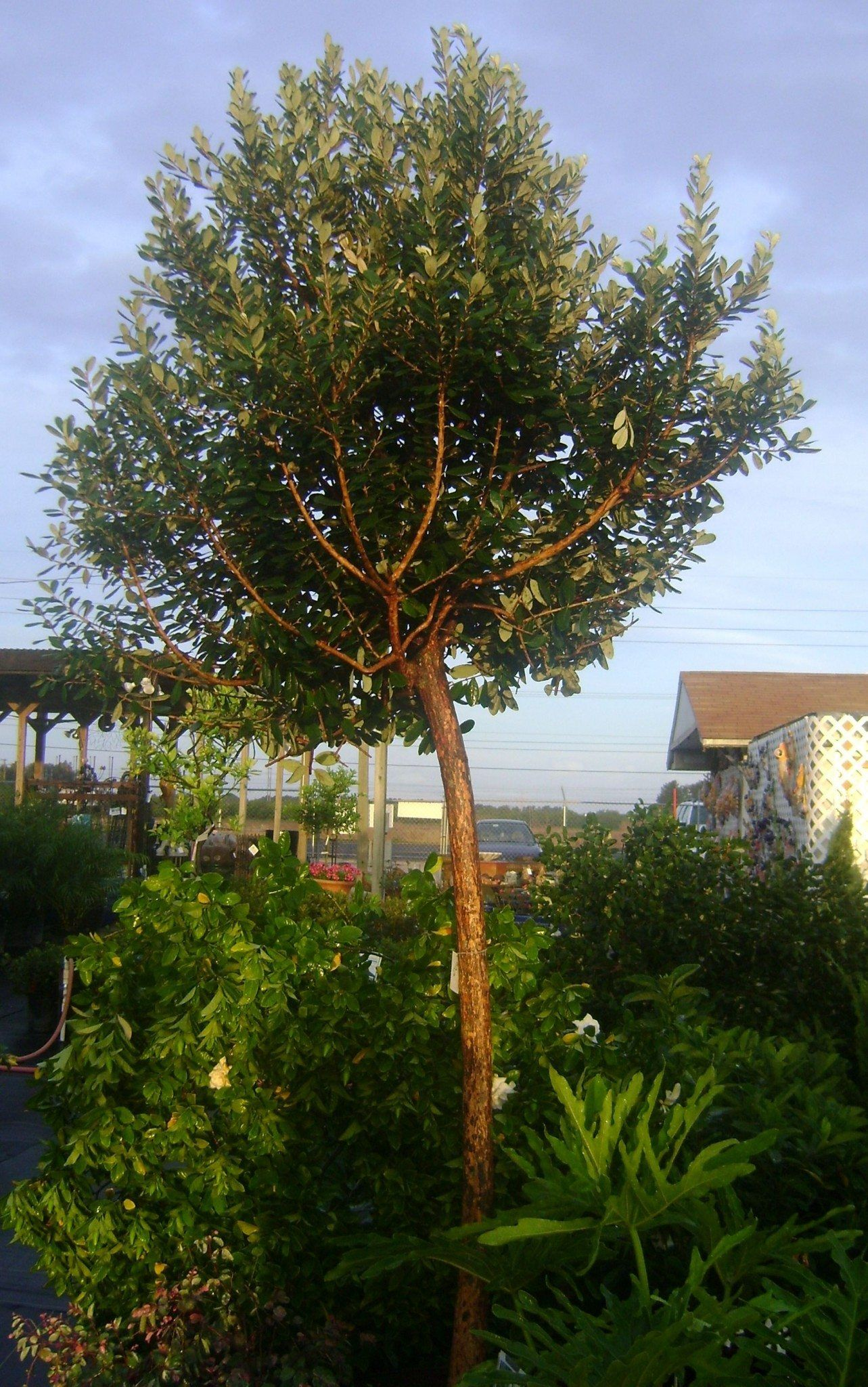 growing guava trees in your yard guava tree yards and gardens
