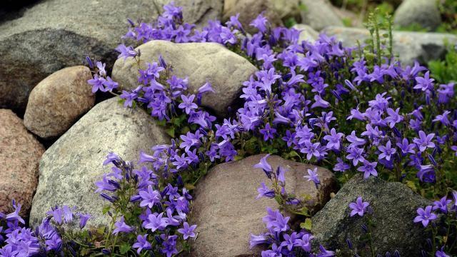 steingarten mit blühenden glockenblumen (campanola spec.)   garten