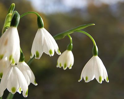 Snowflake looks like little white bells with a green dot on each snowflake looks like little white bells with a green dot on each pteal mightylinksfo