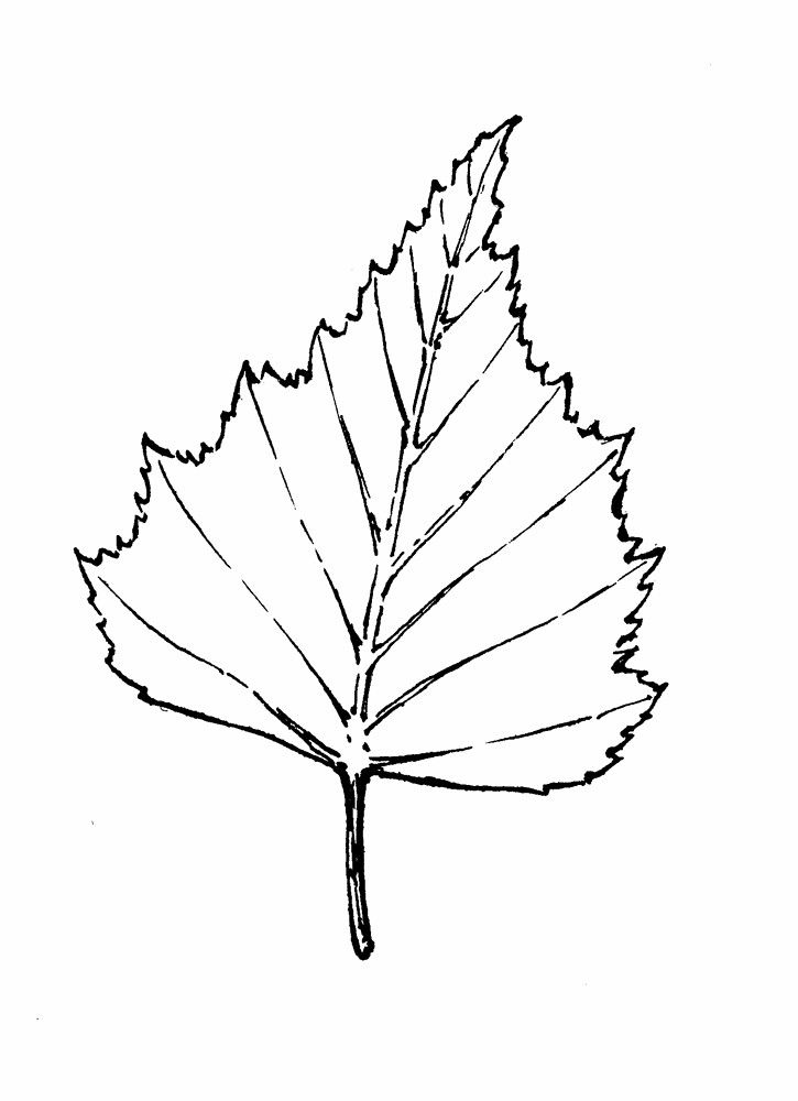 Gallery For > Birch Tree Leaf Drawing | SCULPTURE ...