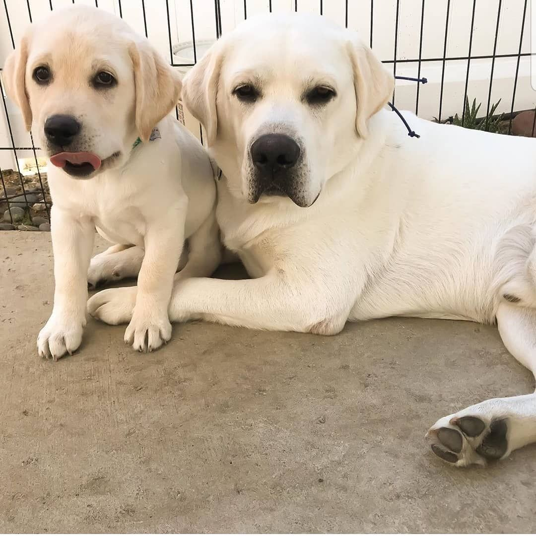 7 534 次赞 27 条评论 Labrador Class Labrador Class 在 Instagram 发布 Me And My Bro Just Finished Breakfast Thanks For Shar En 2020 Chiots Mignons Chiot Chien