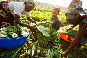 Lubumbashi - Como parte de su proyecto de horticultura urbana y periurbana, la FAO ha proporcionado a los agricultores semillas mejoradas-variedad y ha rehabilitado el riego y la prevención de inundaciones infraestructuras Fotografía: Olivier Asselin / FAO