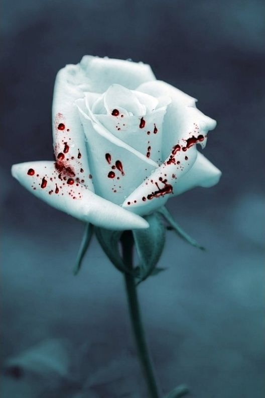 White Rose Covered With Blood