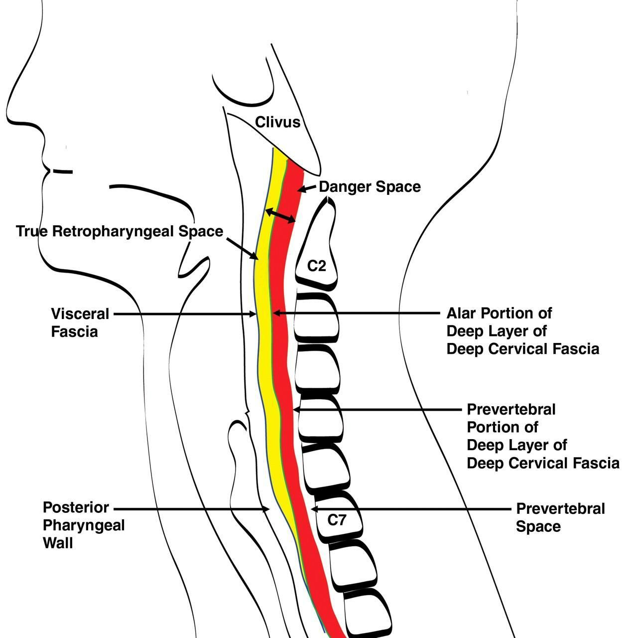 Retropharyngeal Space Yahoo Image Search Results Head And Neck