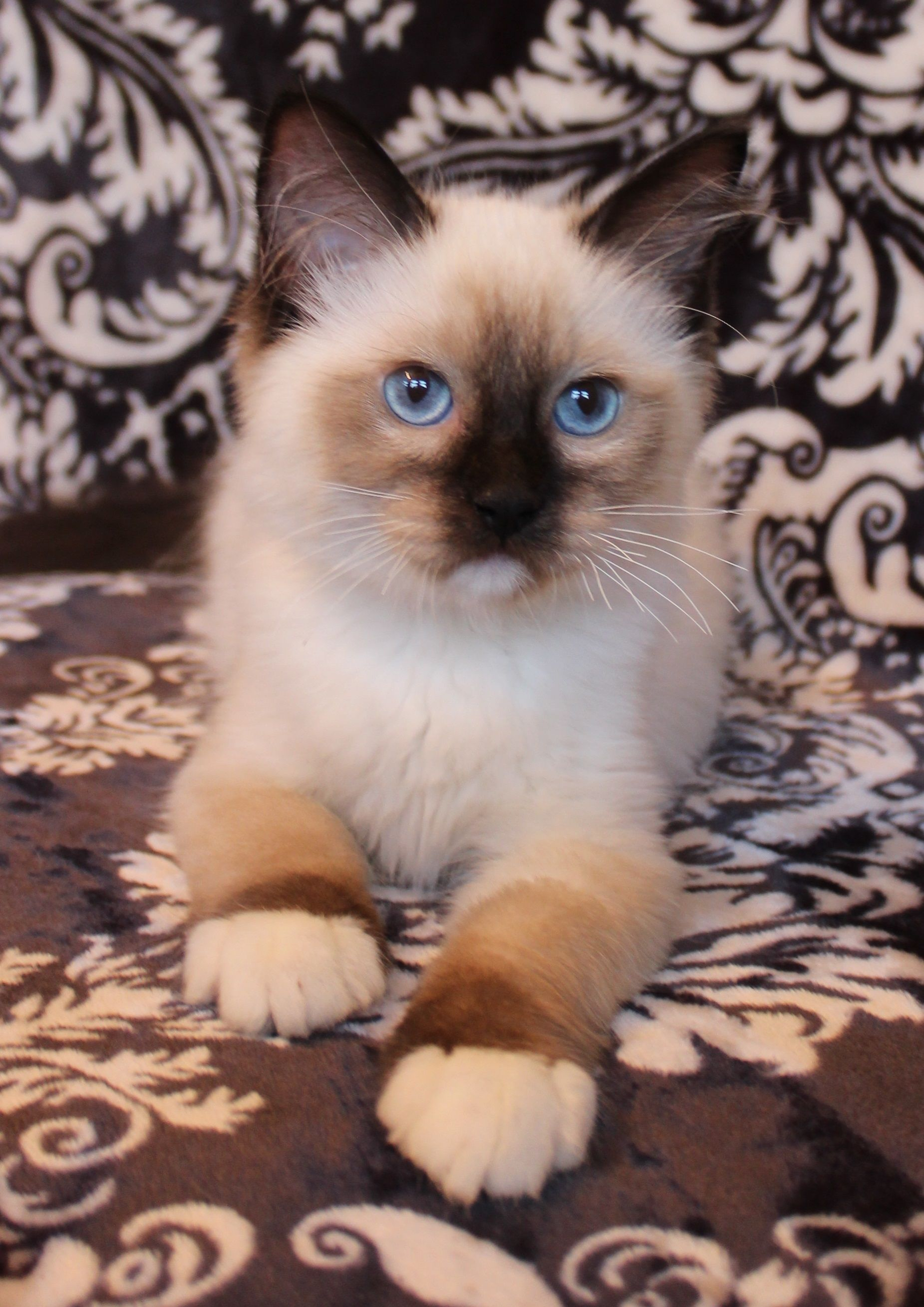 Rambo Seal Mitted Male Ragdoll Kittens Ragdoll Cats