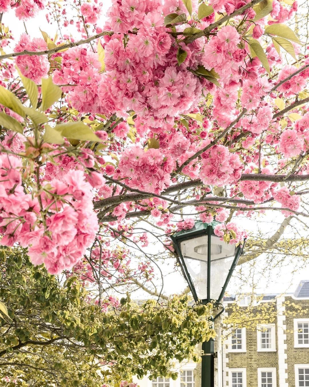 Cherry Blossoms Kensington And Chelsea London England By Michael Sparrow Sparrowinlondon On Instagram Flowering Trees Instagram Blossom