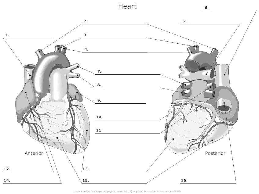 outer heart anatomy worksheet | Med School | Anatomy, Anatomy ...