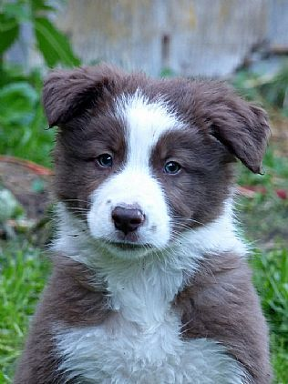 Border Collie Puppies Pet Dog Puppies For Sale In Ny Want Ad