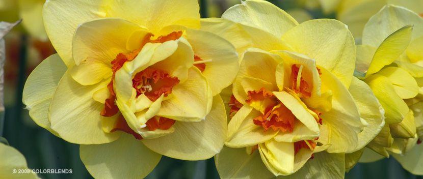 "Daffodil Bulbs cultivar ""Tahiti"" for bottom layer of bulb pot #1"