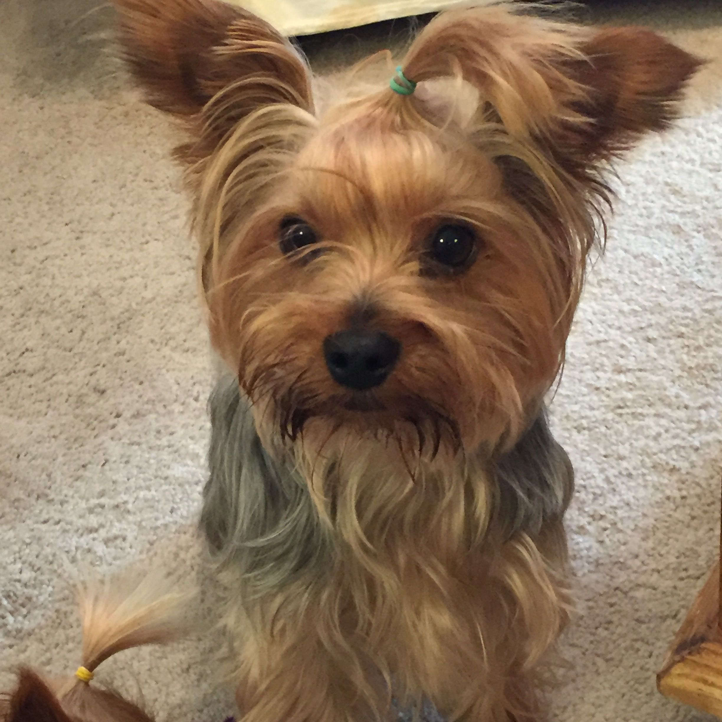 Pin by Peggy B. on Yorkies! Yorkie yorkshire terrier