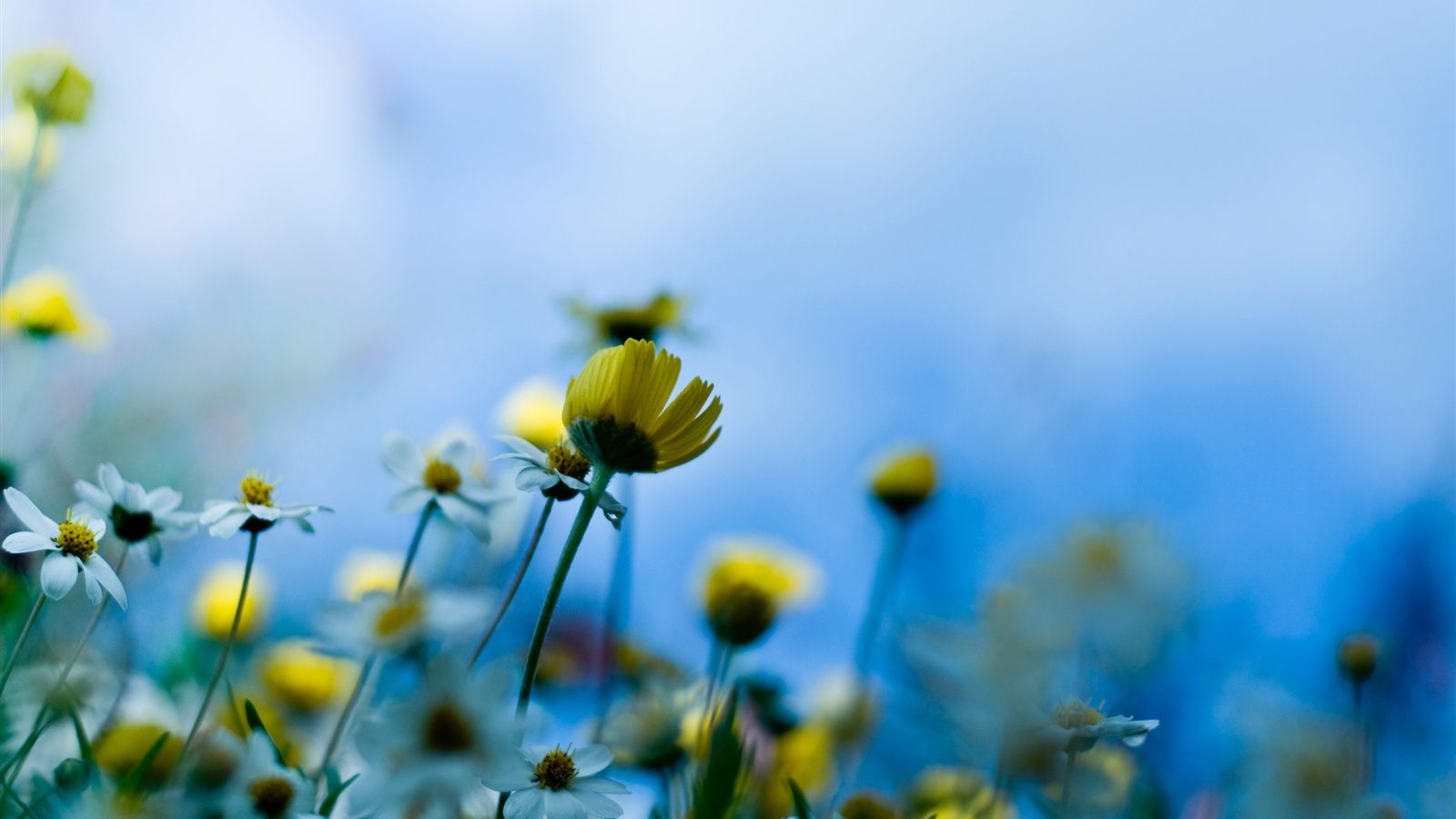 Blue Background Of Yellow Flowers Wallpaper 1600x900 With Images