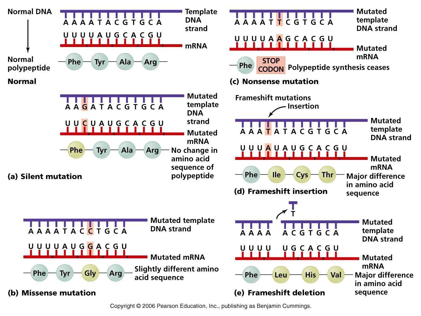 Point Mutations | Mutation, Point mutation, Biology