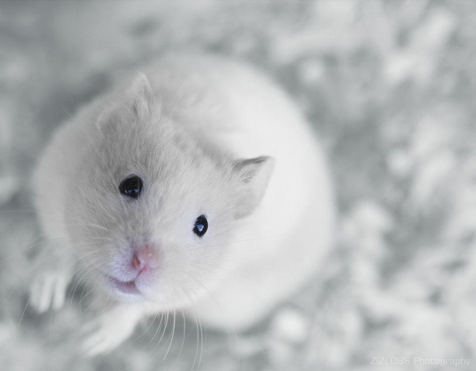 Fluidr Marizabel 77 S Favorites Syrian Hamster Cute Rats